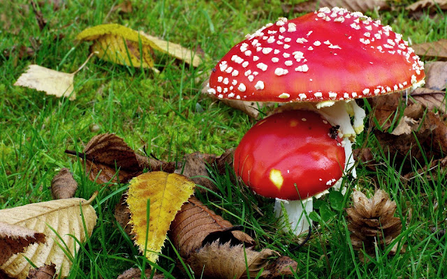 Rood witte paddenstoelen en herfstbladeren op het gras