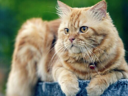 12 Perbedaan Kucing Anggora Dan Persia Lengkap Disertai