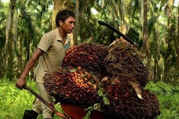 Panen Kelapa Sawit ? 5 Hal Wajin Yang Perlu Diperhatikan Dalam Proses Panen Kelapa Sawit (harvesting)