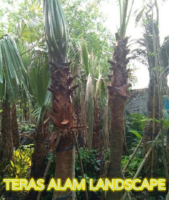 tukang pohon palem washington