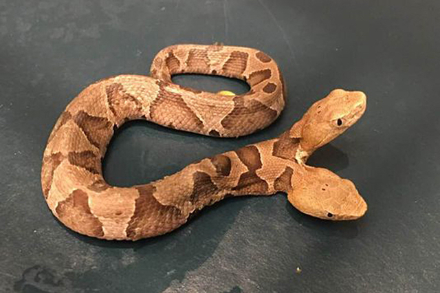 Hallan una serpiente con dos cabezas en Virginia