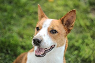 Red Dog Breeds, Orange Dog Breeds