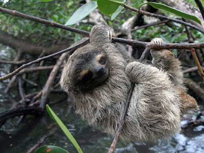 Kukang Kerdil - Pygmy three-toed sloths