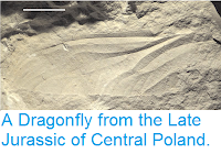 http://sciencythoughts.blogspot.co.uk/2013/06/a-dragonfly-from-late-jurassic-of.html#comment-form