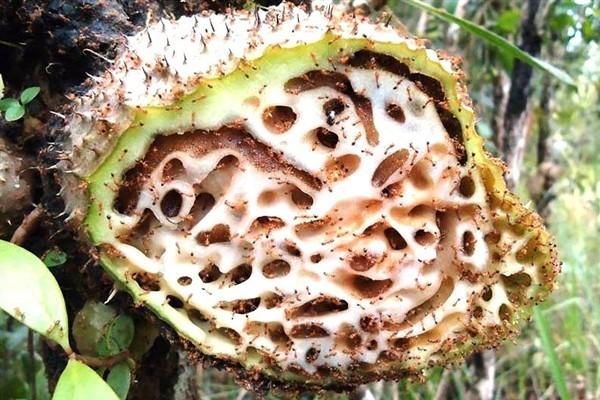 Harga Sarang Semut Kapsul Papua Di Apotik Nano Technology 100% Asli