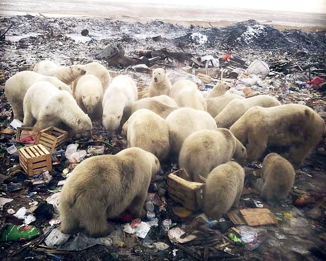 O que a invasão de ursos polares em Nova Zembla tem a nos dizer.