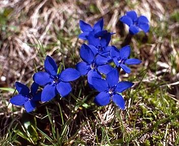 Riscaldamento climatico, i fiori alpini a rischio estinzione