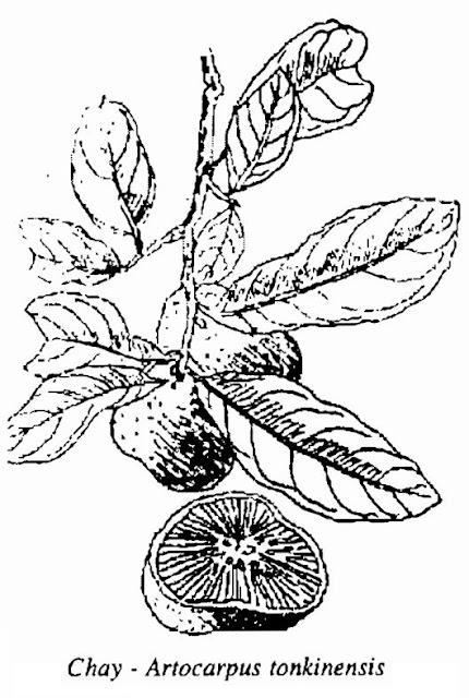 Hình vẽ Cây Chay - Artocarpus tonkinensis - Nguyên liệu làm thuốc Chữa Tê Thấp và Đau Nhức