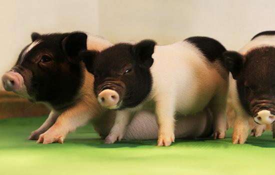 Laporan Penelitian Pengeditan Gen Babi Ciptakan Organ Untuk Manusia
