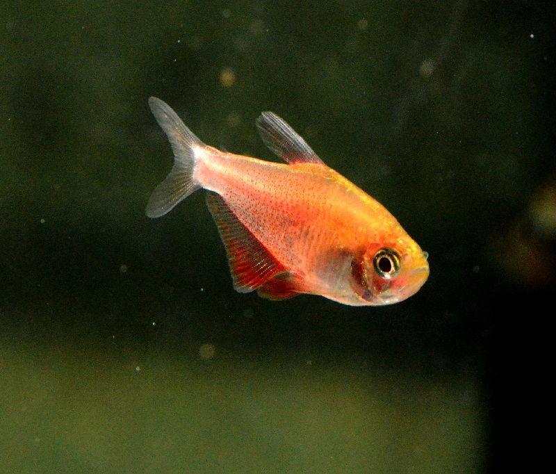 Gambar Ikan HiasTetra Merah (Flame Tetra, Red Tetra, Fire Tetra)
