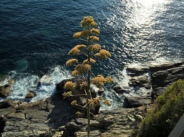 Fioritura Agave in Liguria