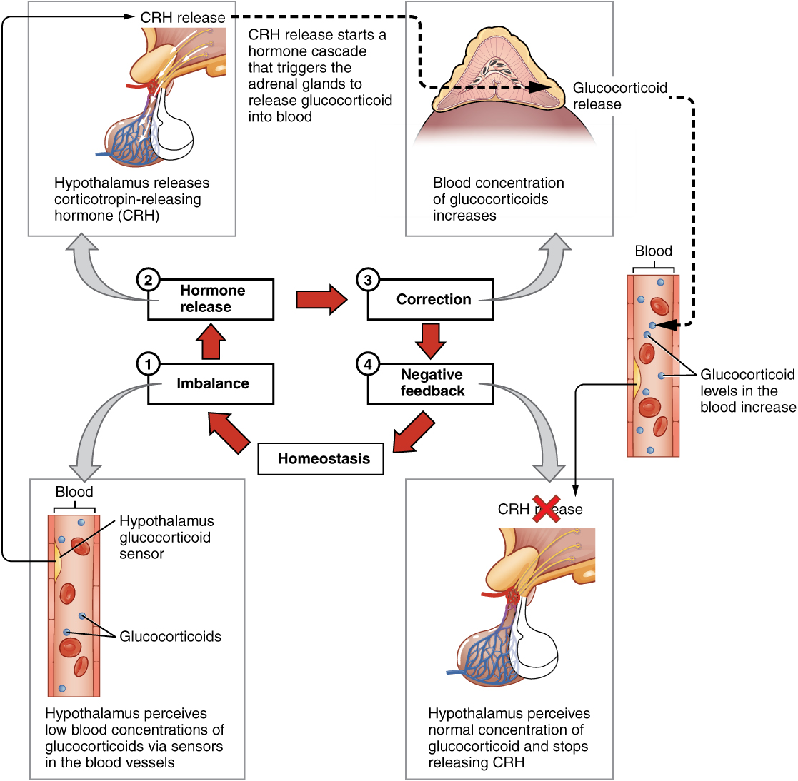 hormonal regulation of stress – ovulation, regulation of female sex hormones – induces corpus luteum formation after ovulation • releases hormones in response to stress.