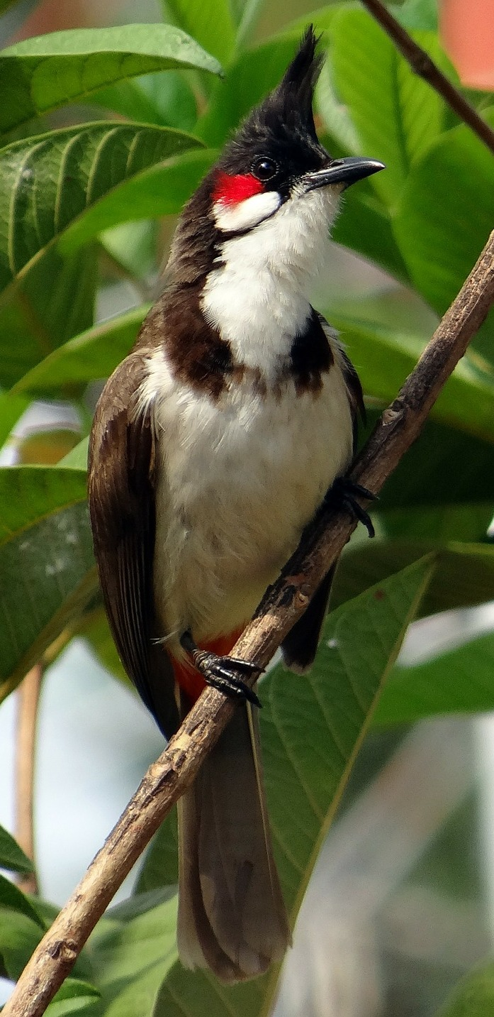 Picture of a red-whiskered bulbul.