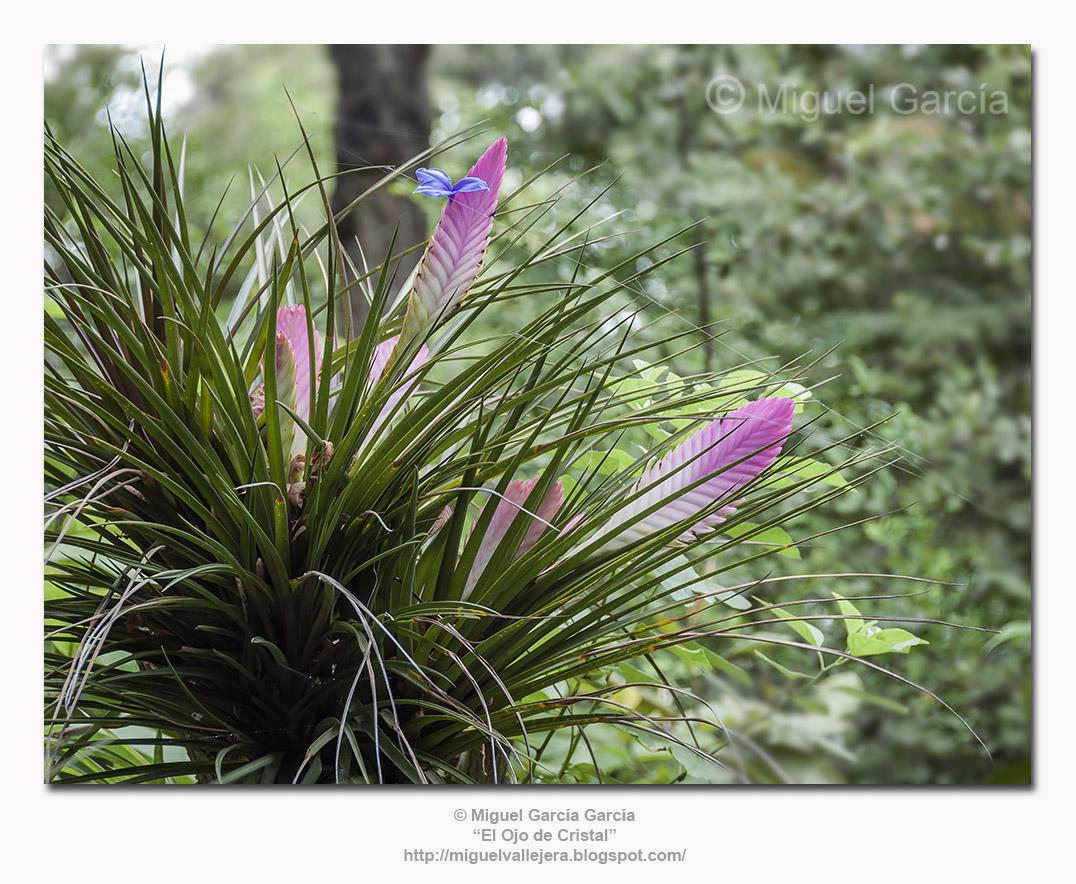 Tillandsia Cyanea. Clavel o Flor de Aire.