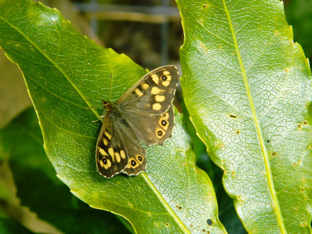 Speckled Wood, Speckled Wood Butterfly,