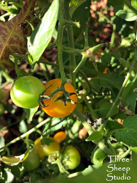 Sunsugar Yellow Cherry Tomatoes