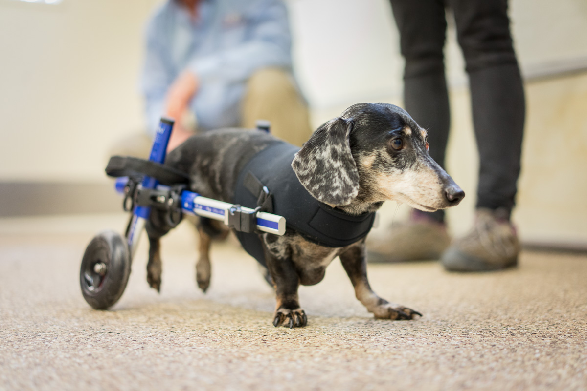 Dachshund Wheelchair For Sale - Goldenacresdogs com