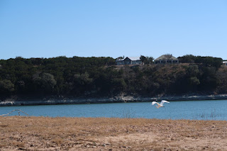 A cattle egret taking flight over Lake Travis