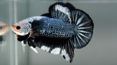 Ikan Cupang Aduan - Cara Budidaya Ikan Cupang
