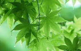 daun herbal kutil kelamin