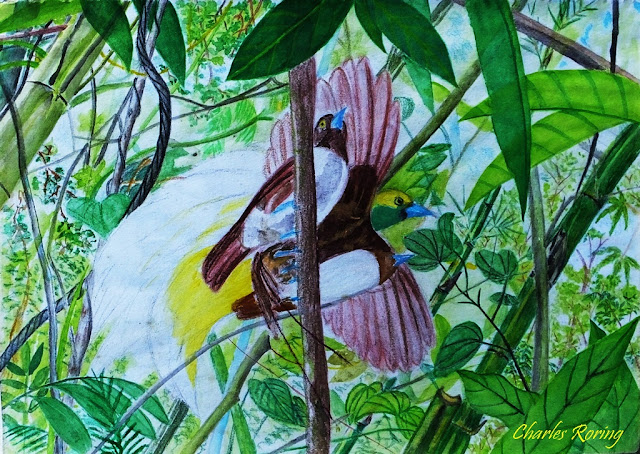 Lesser Birds of Paradise