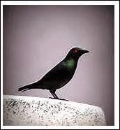 Burung jenis mata merah