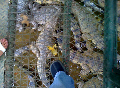 Crocodiles at Zoobic Safari Adventure