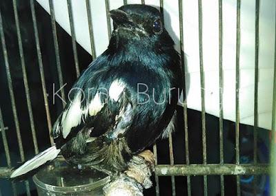 Mabung yaitu siklus wajib yang harus dilewati burung Solusi Tepat Burung Kacer Yang Macet Mabung