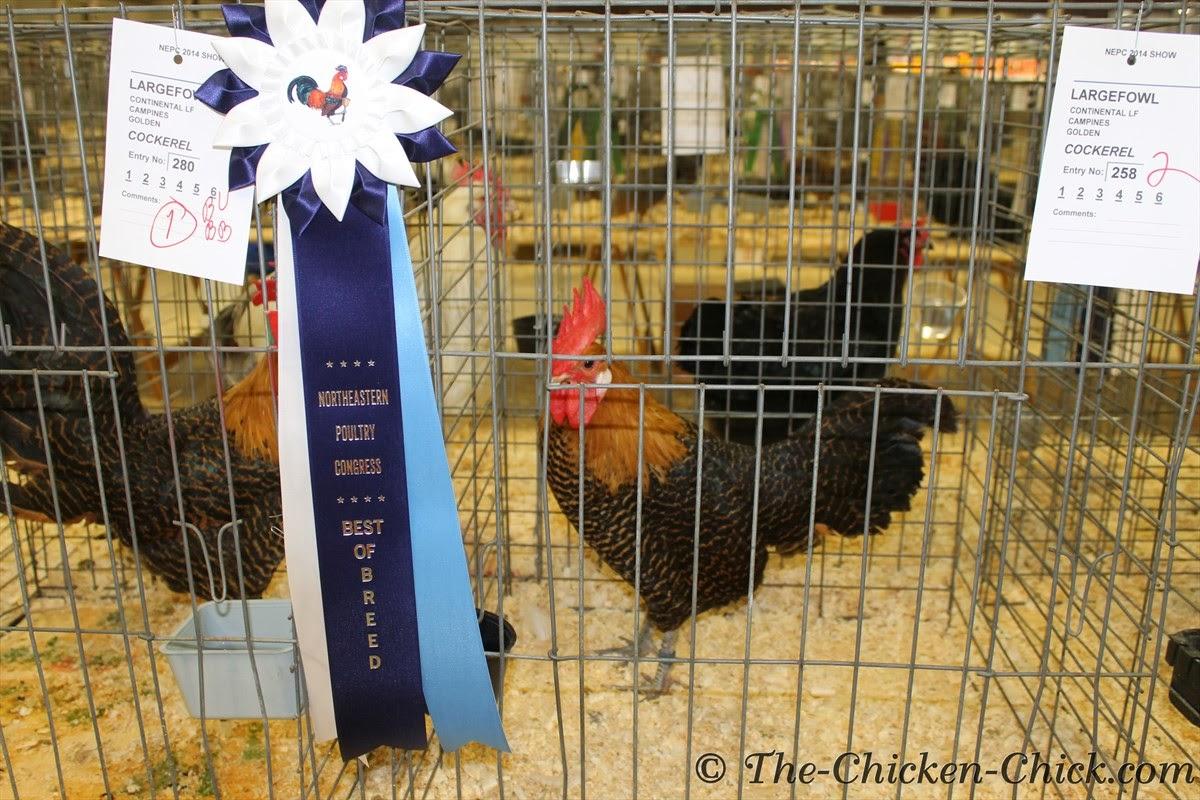 Best of Breed, Large Fowl Golden Campine cockerel