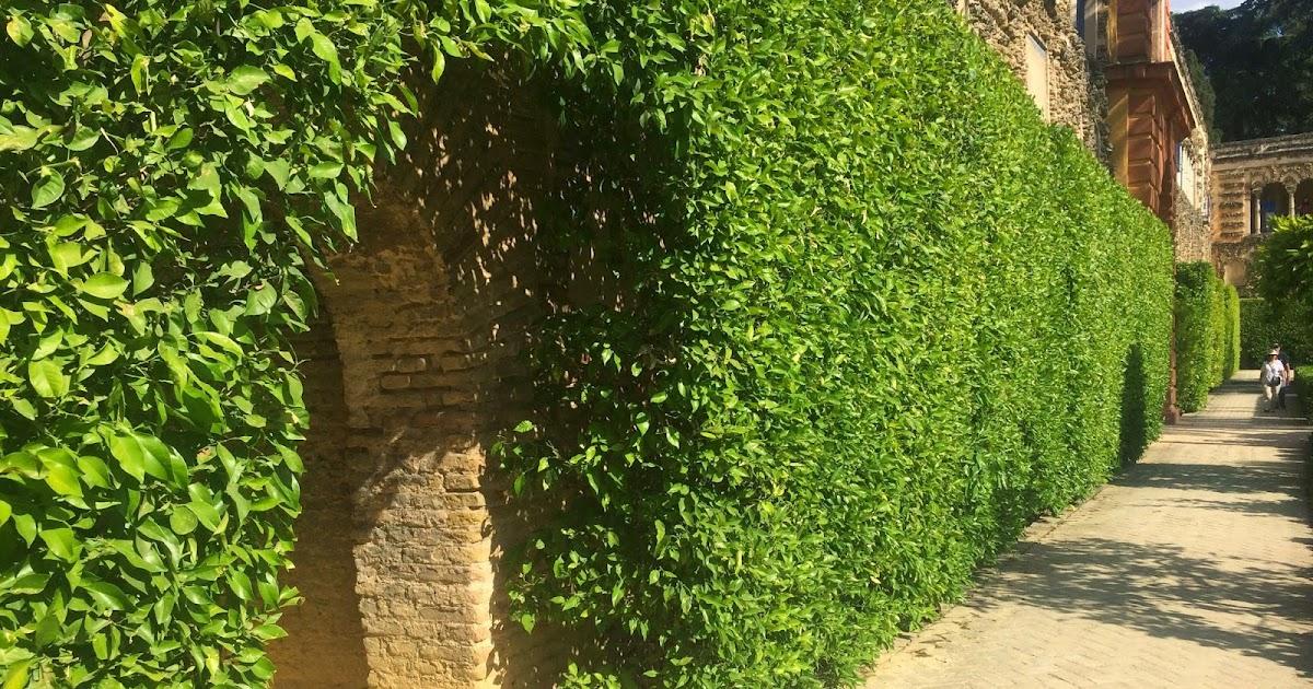 Daleys Fruit Tree Blog Orange Tree Hedge