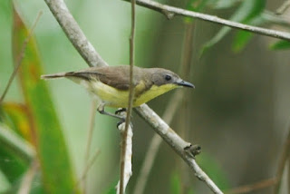 Golden-bellied Gerygone, Lorong Halus