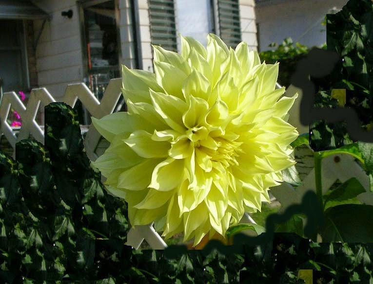 My Virtual Garden National Dahlia Day