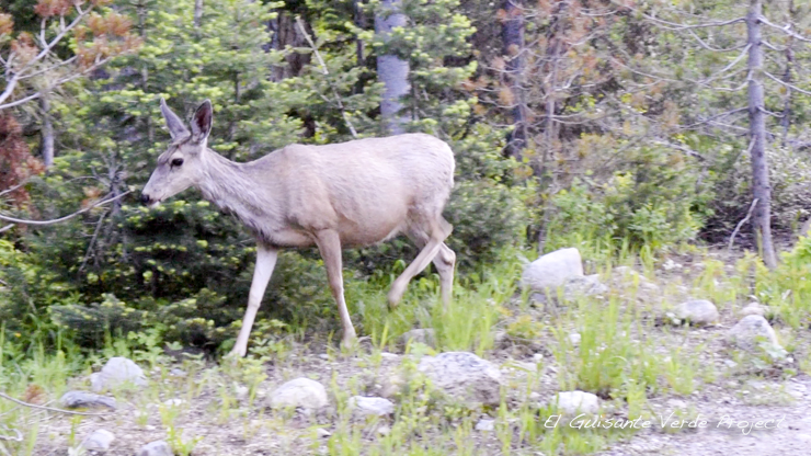 Mule deer - Grand Teton National Park por El Guisante Verde Project