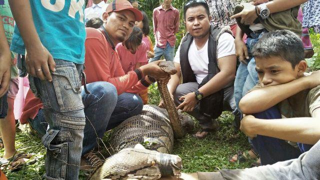 Masyarakat Sungai Geringging, Dikejutkan Penemuan Ular Phyton Sepanjang 4,7 Meter