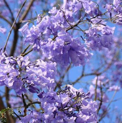 photo-arbre-fleuri-mauve-printemps