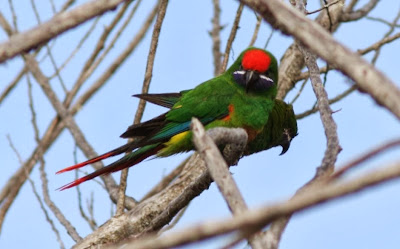 Plum faced lorikeet