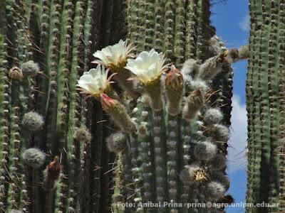 cactus del monte Pasacana