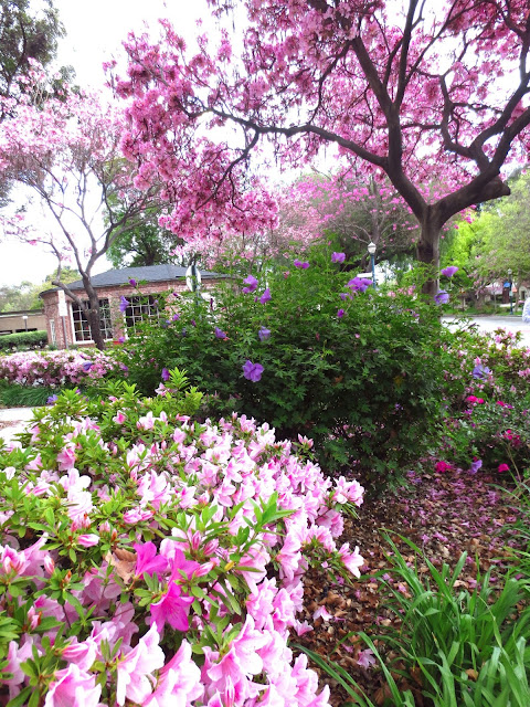 pink azaleas flower flowering plant bush shrub empress tree purple flowers small town usa claremont
