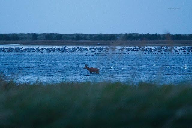 Ein Hirsch durchquert das seichte Gewässer. Die Kraniche lassen sich nicht stören.