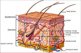 struktur kulit dan fungsi kulit