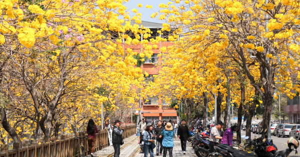 南投草屯南開科大旁黃花風鈴木盛開,開滿黃花的隧道好好拍