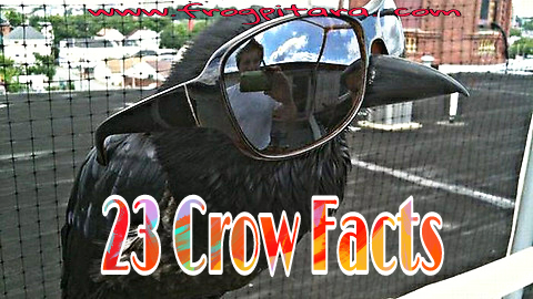 Interesting Crow Facts In Hindi