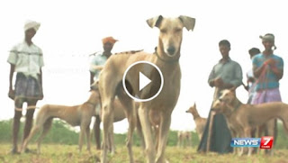 Azhivai nokki sellum arivu koormai mikka tamilaga naattu naigal, Country dog breeds in india news 7 video, tamil news about indian national dog breeds