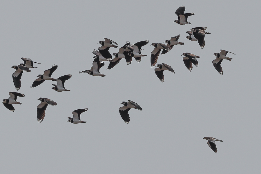 Sociable Lapwing wintering in Eastern Saudi Arabia – Haradh