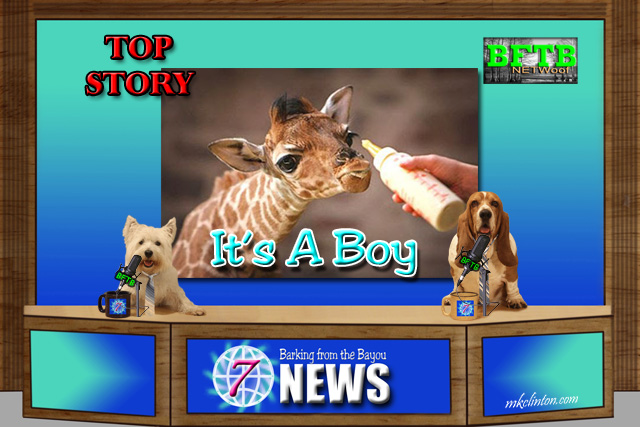 BFTB NETWoof News reports on April the giraffe giving birth to son