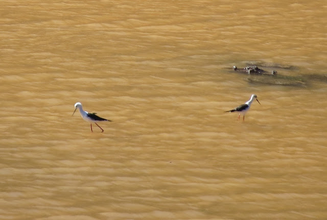 Black-wiinged Stilts - Embalse de los Molinos, Fuerteventura