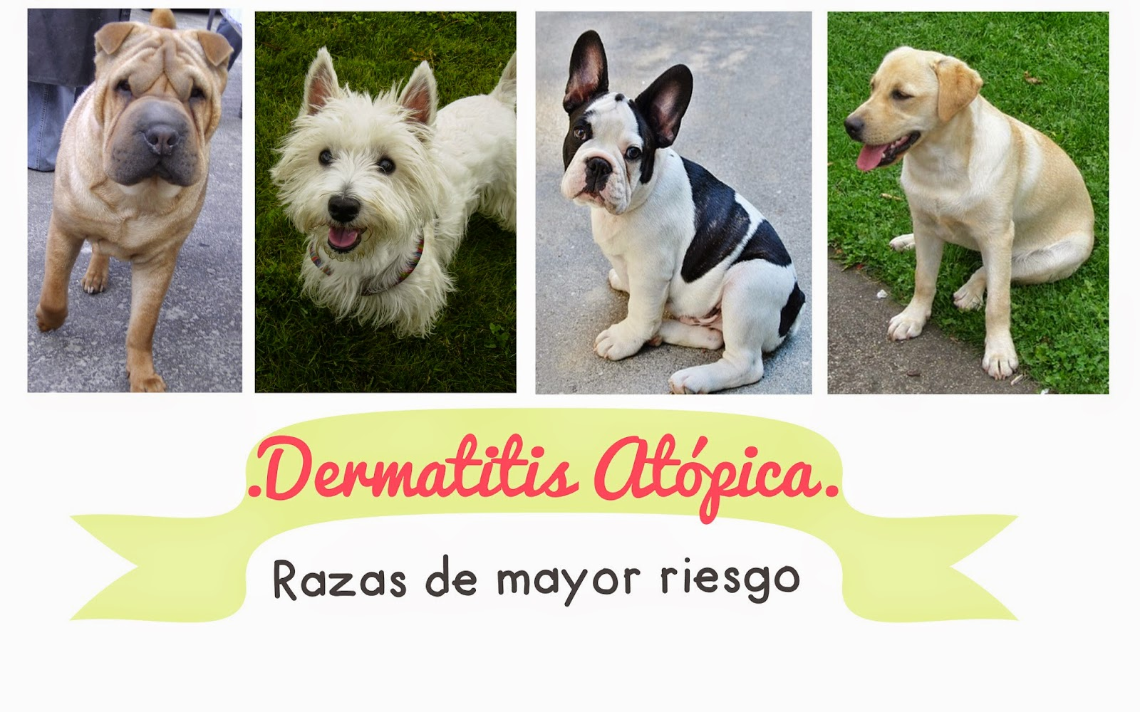razas-propensas-dematitis-atopica