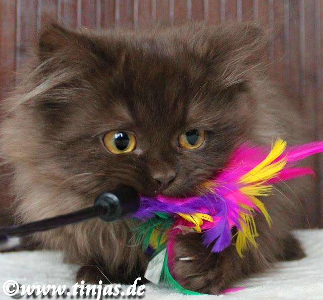 BKH Kitten in Chocolate,weiblich abzugeben