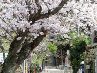 頼朝墓参道の桜
