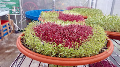 Pertanian Organik Microgreens sayur sehat bernutrisi